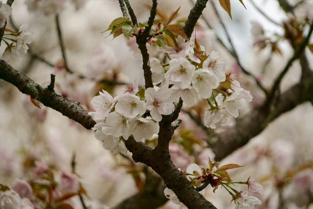 Japan's Cherry Blossom Season event planning